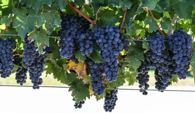 Cabernet Sauvignon Grapes - wineparity